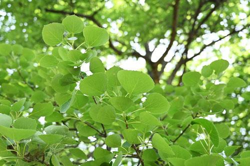 ハコヤナギ,やまならし,葉っぱ