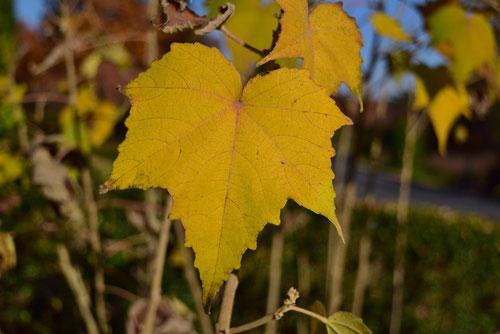 芙蓉の黄葉