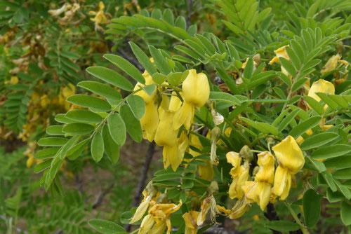 ムレスズメに似た黄色い花