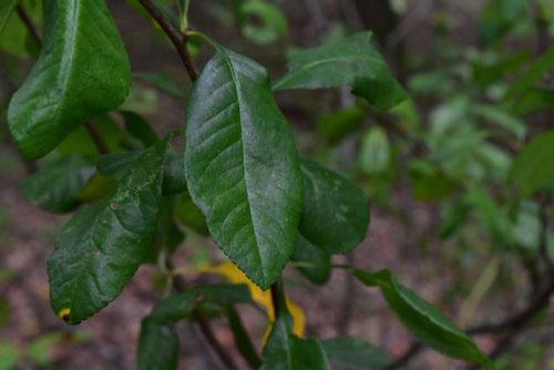 木瓜 葉っぱ 画像
