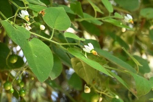 ヒヨドリジョウゴ,蔓性