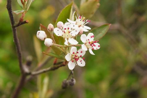チョークベリーの花