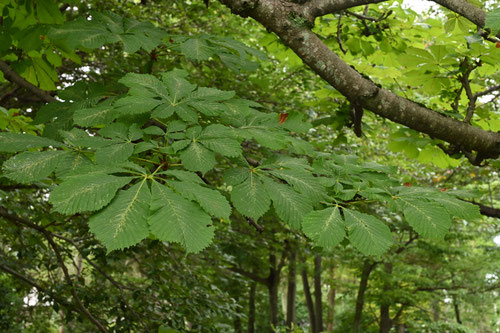 マロニエの葉