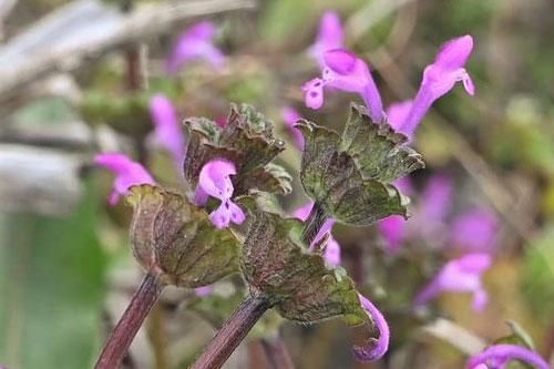 ほとけのざ,草の花