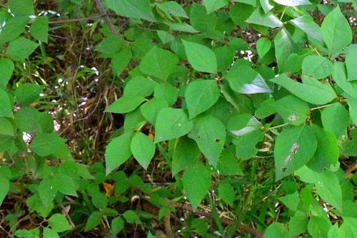 三つ葉躑躅 小葉