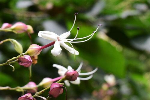 クサギの花,写真