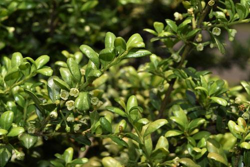 豆柘植の木