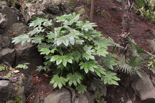 ヤツデ,植木