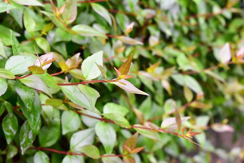 アベリアの葉っぱ