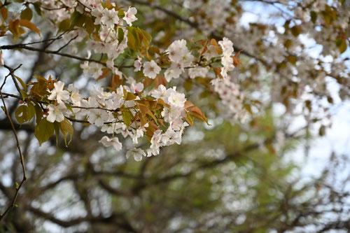 山桜,やまざくら,新葉