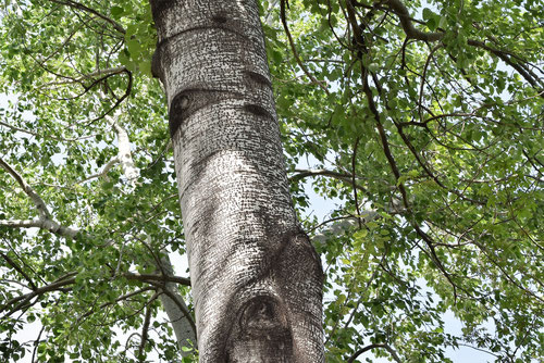 Silver leaved poplar