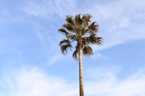 わしんとんやしの木,画像