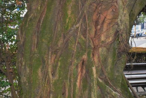 あこうの木