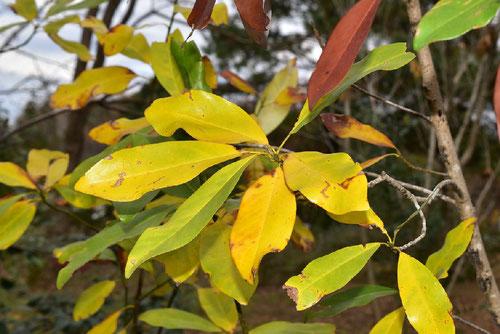 ヒメタイサンボク,黄葉,紅葉