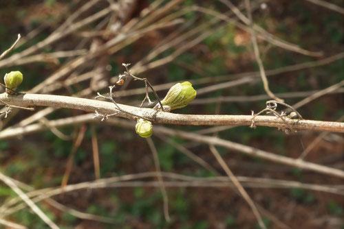 コムラサキの木,冬芽,こむらさき