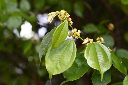 Evergreen lindera, flower