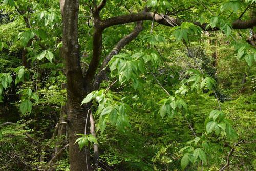 タカノツメ 樹木