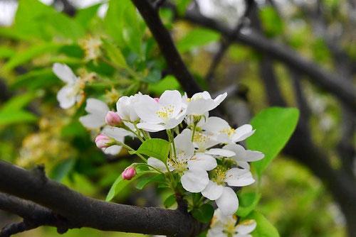 ヒメリンゴ 花言葉