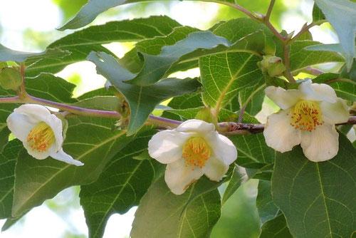 シャラ 開花時期 特徴