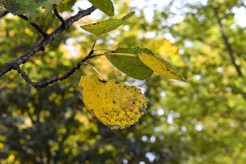 ハコヤナギ 黄葉