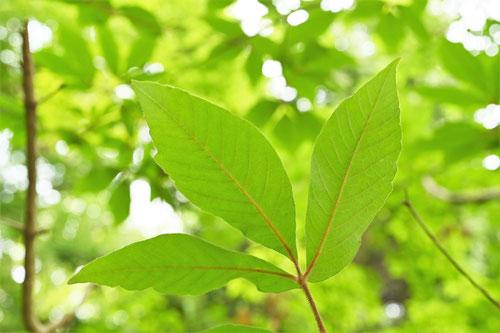 千里眼の木,メグスリノキ