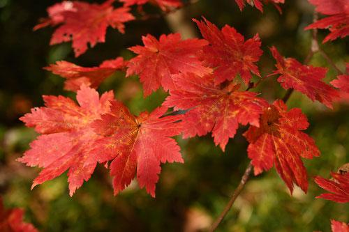 葉が大きいカエデの木