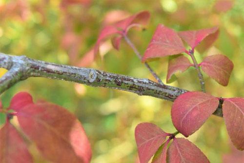 コマユミの小枝