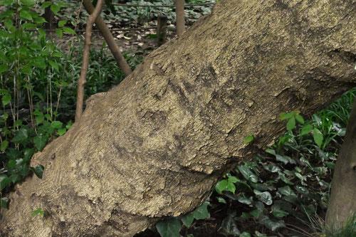 樹皮の様子