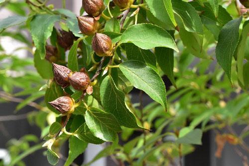 ヒメシャラという木の特徴
