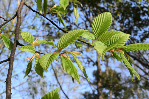 白シデの木,葉っぱ