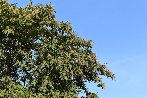 りょうぶの木,樹形,果実