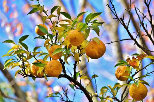 柚子の木 特徴