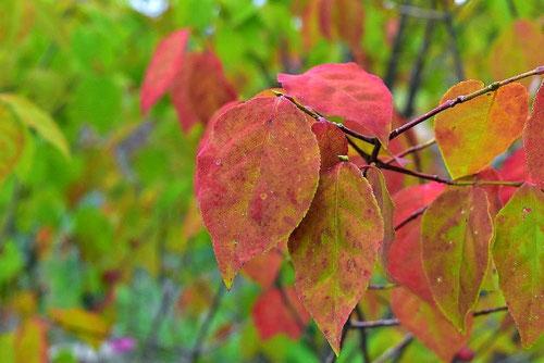 ツリバナ 紅葉 黄葉