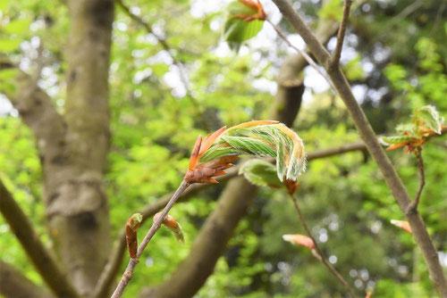 Japanese beech