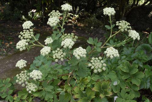チョーミーグサ,長命草の花