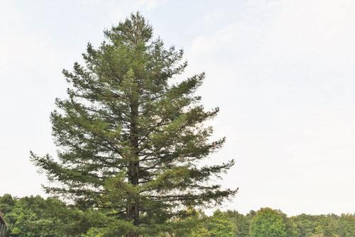 地球上で一番樹高が高い樹木は何