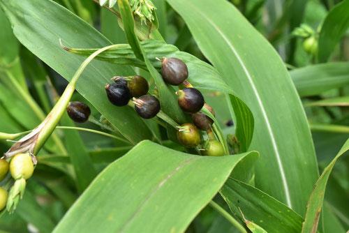 数珠玉,植物