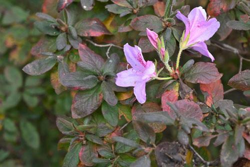 モチツツジ,開花
