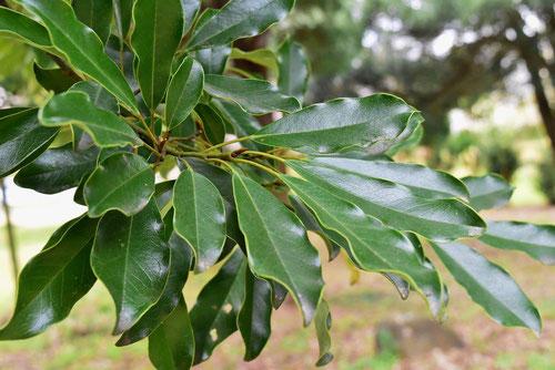 オガタマノキの葉