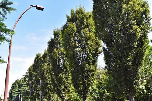 欅 品種 特徴