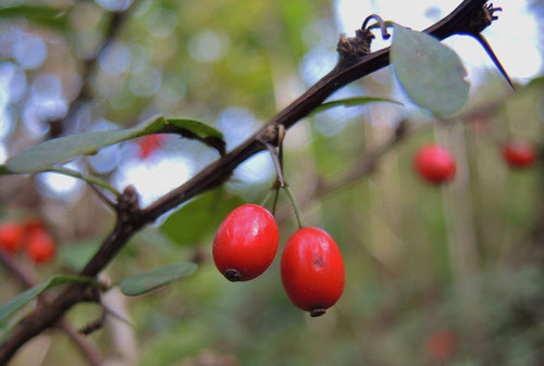 Japanese barberry,fruits
