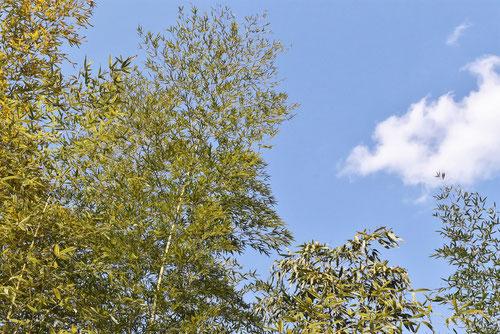幹が変わった竹
