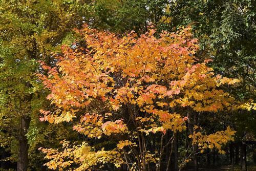 アカチシャ 樹木