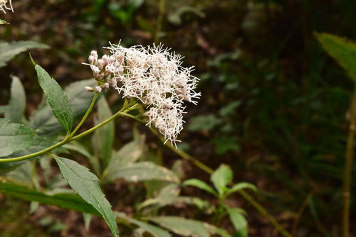 藤袴の花,画像