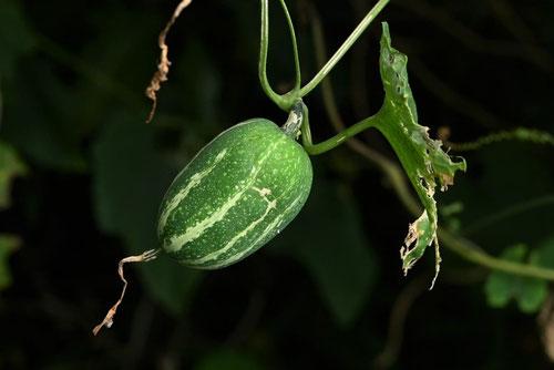 Japanese snake gourd