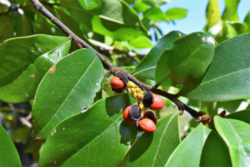 カラタネオガタマ 実 種子