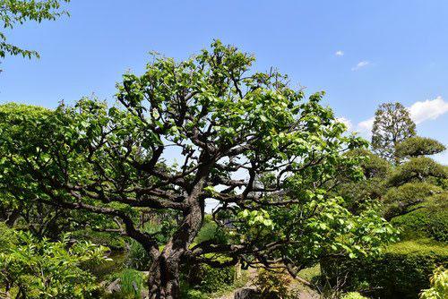 梅の木 幹