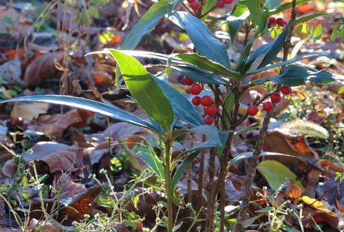 カラタチバナ 植木