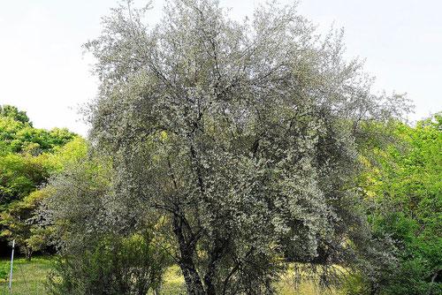 アキグミの木,あきぐみ,特徴