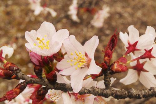 大山桜,オオヤマザクラ